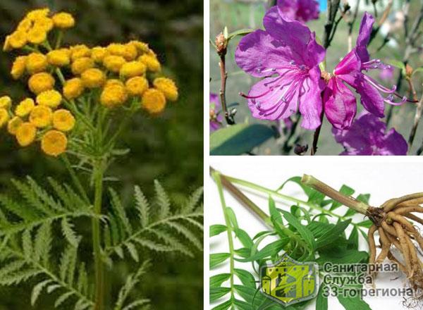растения которые отпугивают домашних клопов