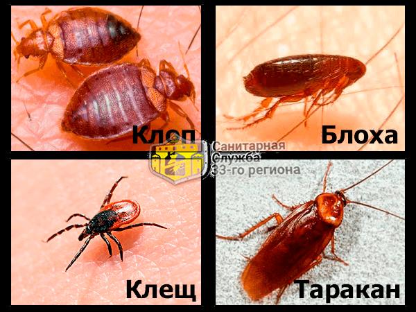 бельевые клопы и другие насекомые фото