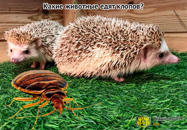 какие животные едят клопов
