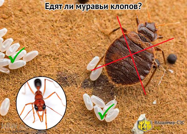 муравьи едят клопов