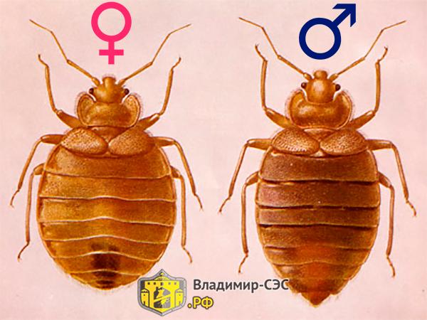 как выглядят самки и самцы клопа