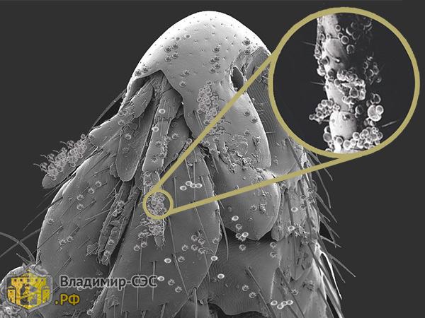 блоха микрокапсулы увеличение