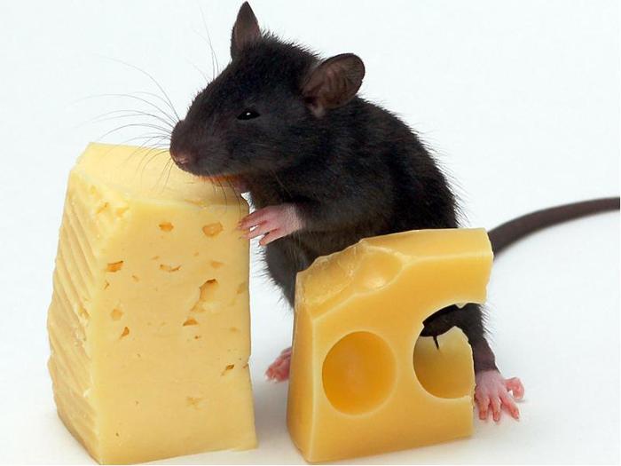 Крыса со своей добычей