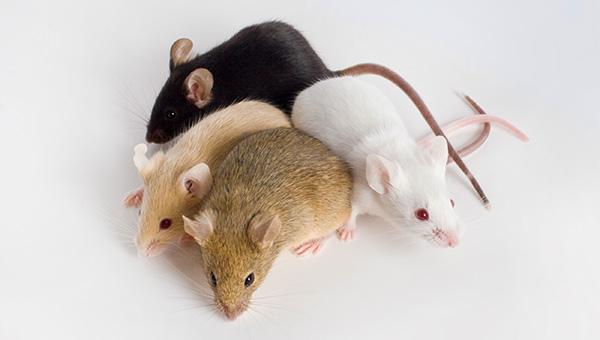 Мышь на кухонном столе