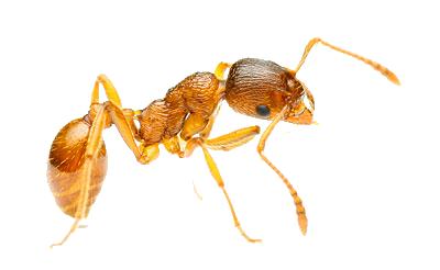 рыжие муравьи в квартире