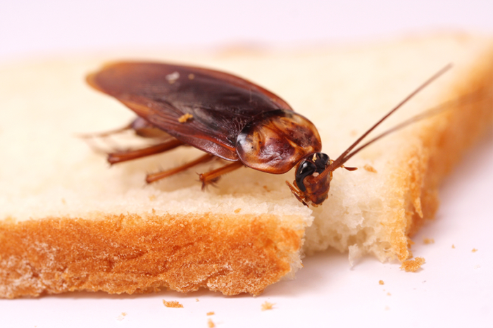 таракан на куске хлеба