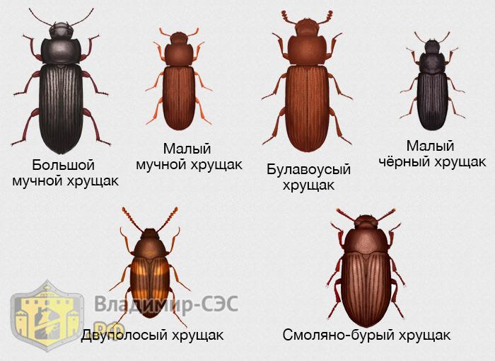 виды хрущака жуков