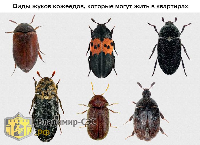 виды кожеедов жуков