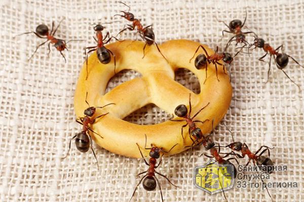 домашние муравьи на столе